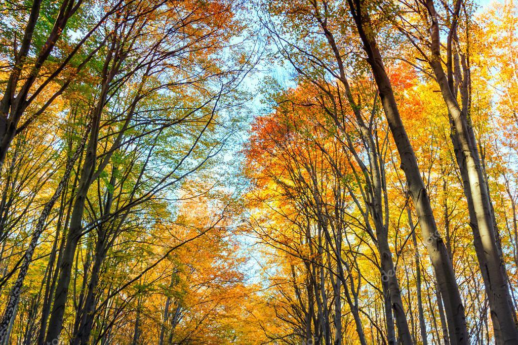 Autumn beech fall forest