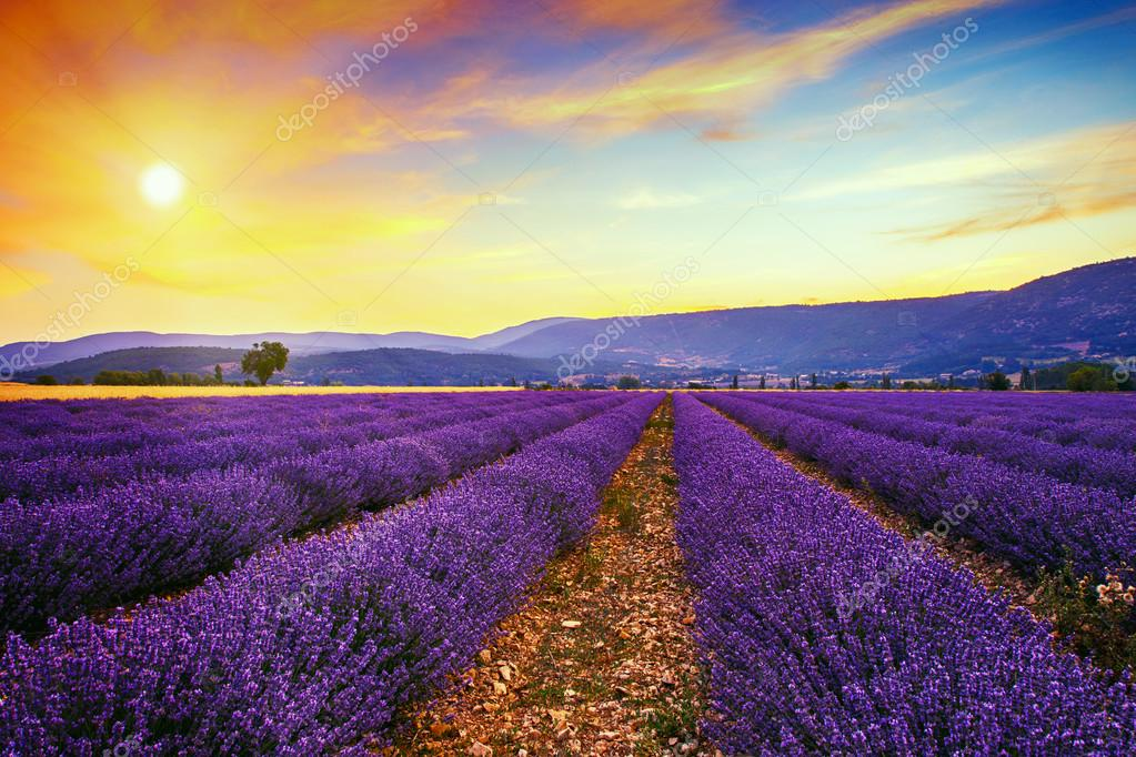Lavender field summer sunset