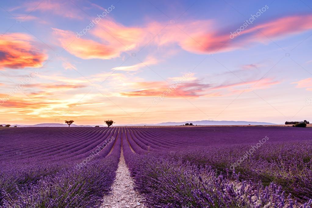 Lavender field summer sunset landscape in Provence