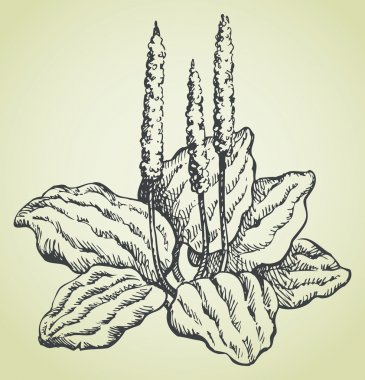 Vector line drawing of plantain