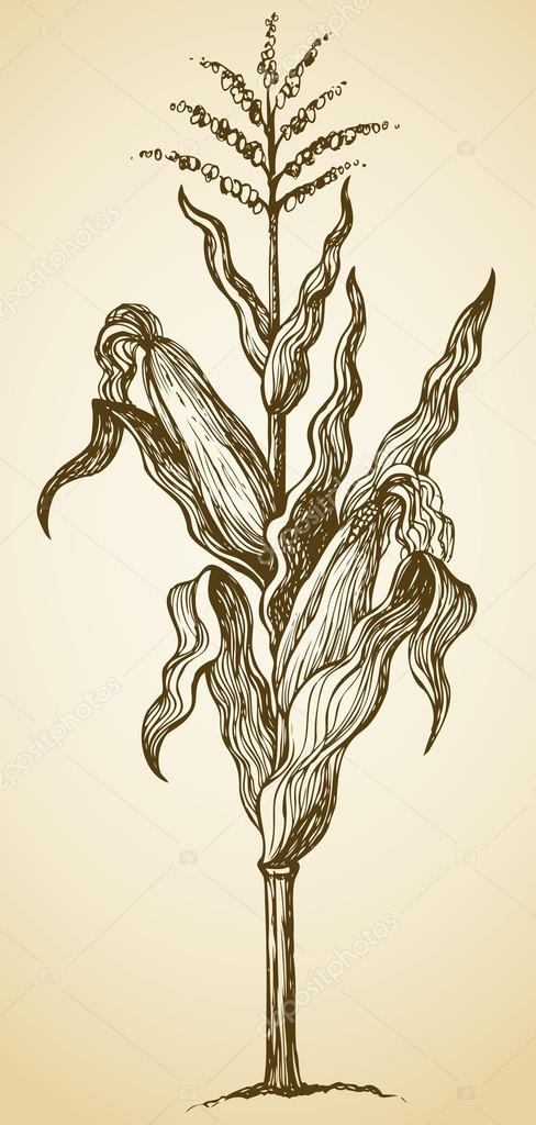 Corn plant stalk. Vector sketch