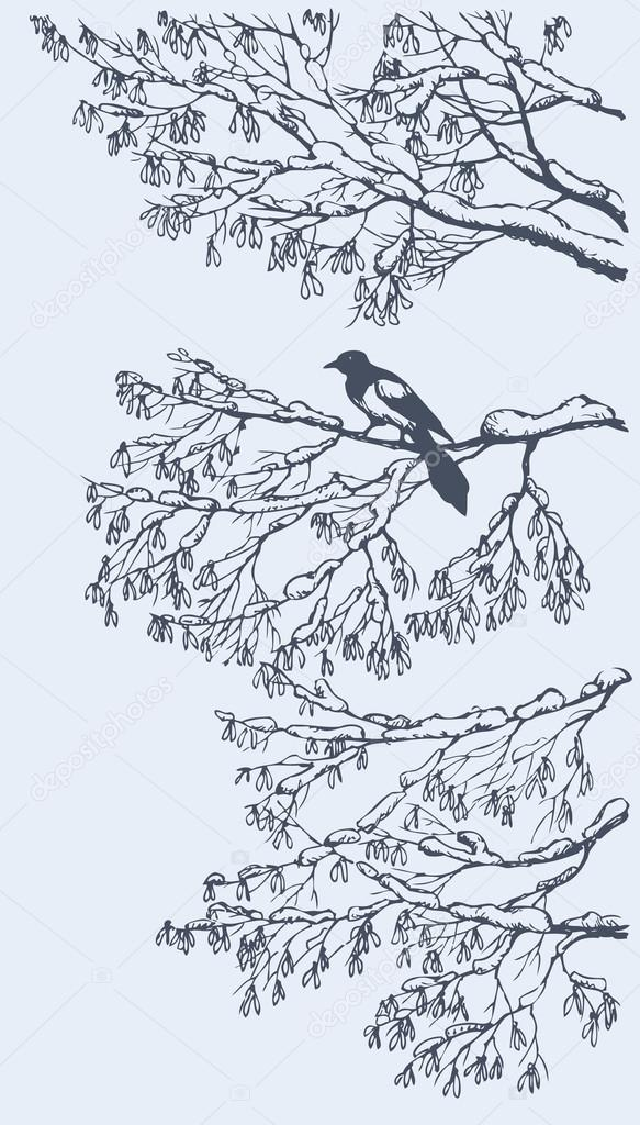 Magpie on the branches of ash tree. Vector sketch
