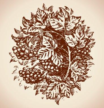 Viburnum. Vector drawing