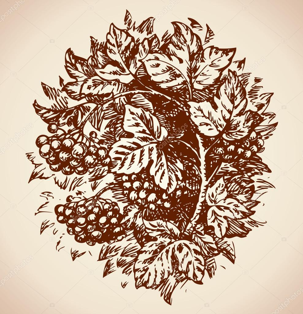 Viburnum. Vector drawing