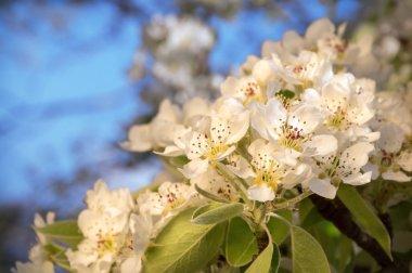 White flowers of spring tree