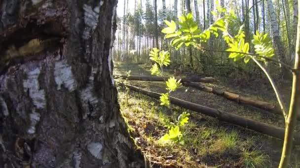Ranní jarní paprsky slunce lesní prorážet pavouk čistého širokoúhlého objektivu