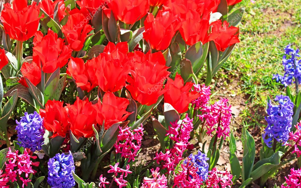 Red tulips and hyacinths in Istanbul, Turkey