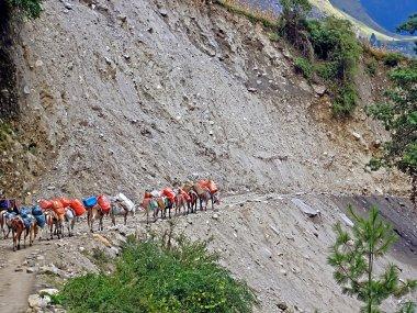 Caravan of donkeys is walking on cliff edge, Annapurna trekking area, Nepal