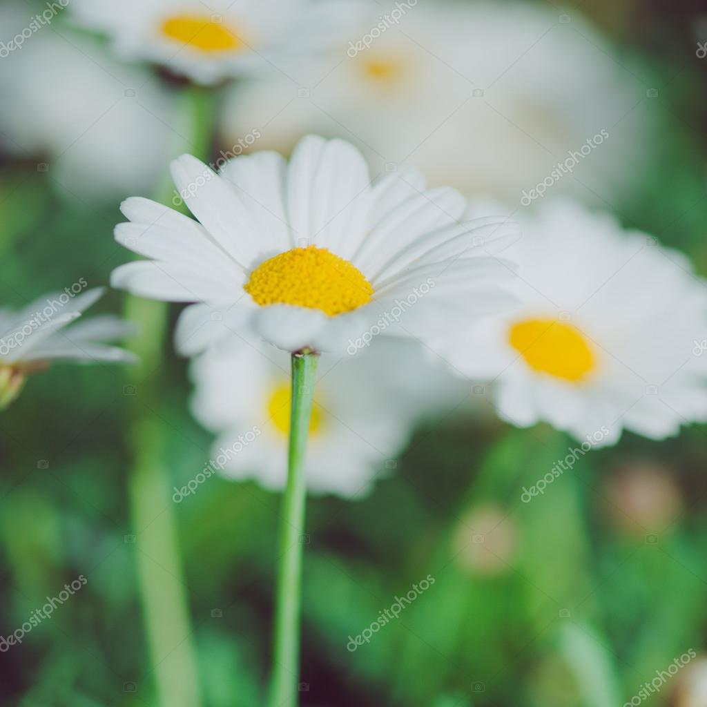 White And Yellow Flower Detail Of Daisies In The Grass Macro Of