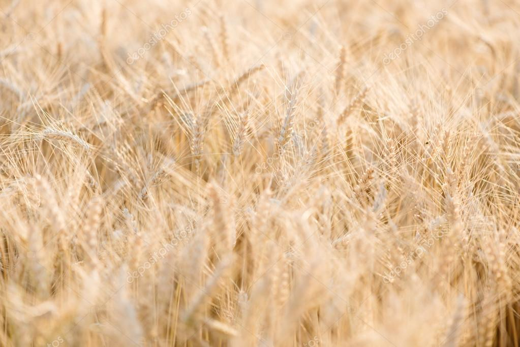 Close up wheat field