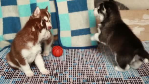 Husky štěně hraje
