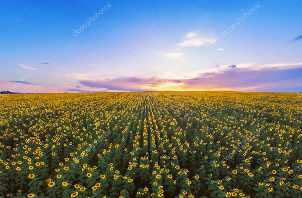 Aerial view of sunflowers field . Wide angle. GoPro, sunrise shot.