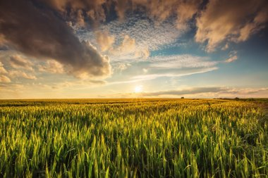 Green wheat field , sunset shot