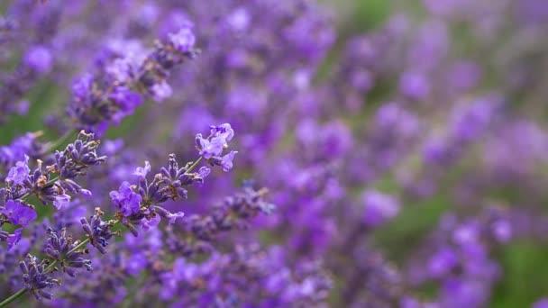 Lavender ina field, video