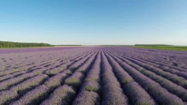 Flying over lavender fields