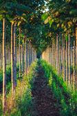 Fotografie Pretty woodland, paulownia tree plantation