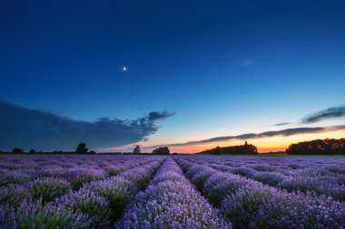 Lavender flower blooming scented fields in endless rows. Sunset shot. stock vector