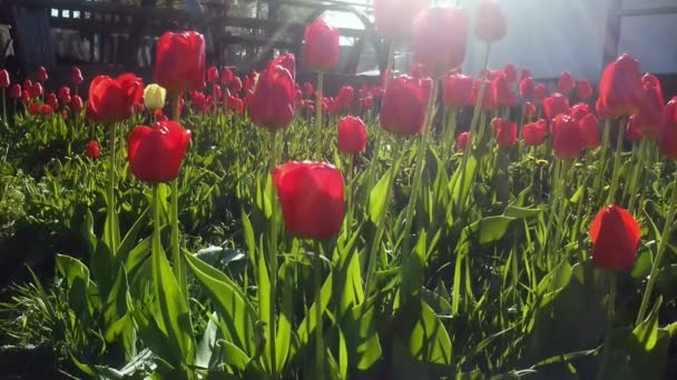 Pole červené barevné tulipány s hvězdice slunce