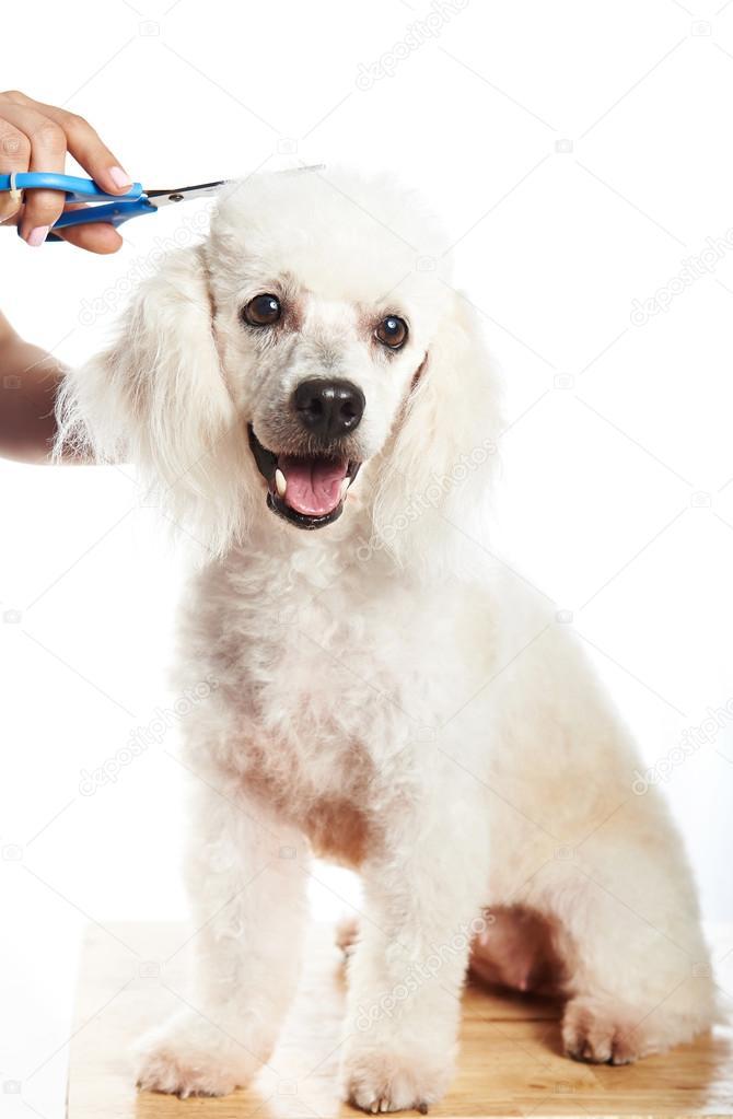 Imagenes de corte de pelo para poodle