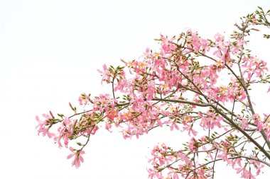 silk floss tree flower isolated on white background