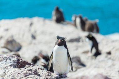 Rockhopper penguins in Argentina
