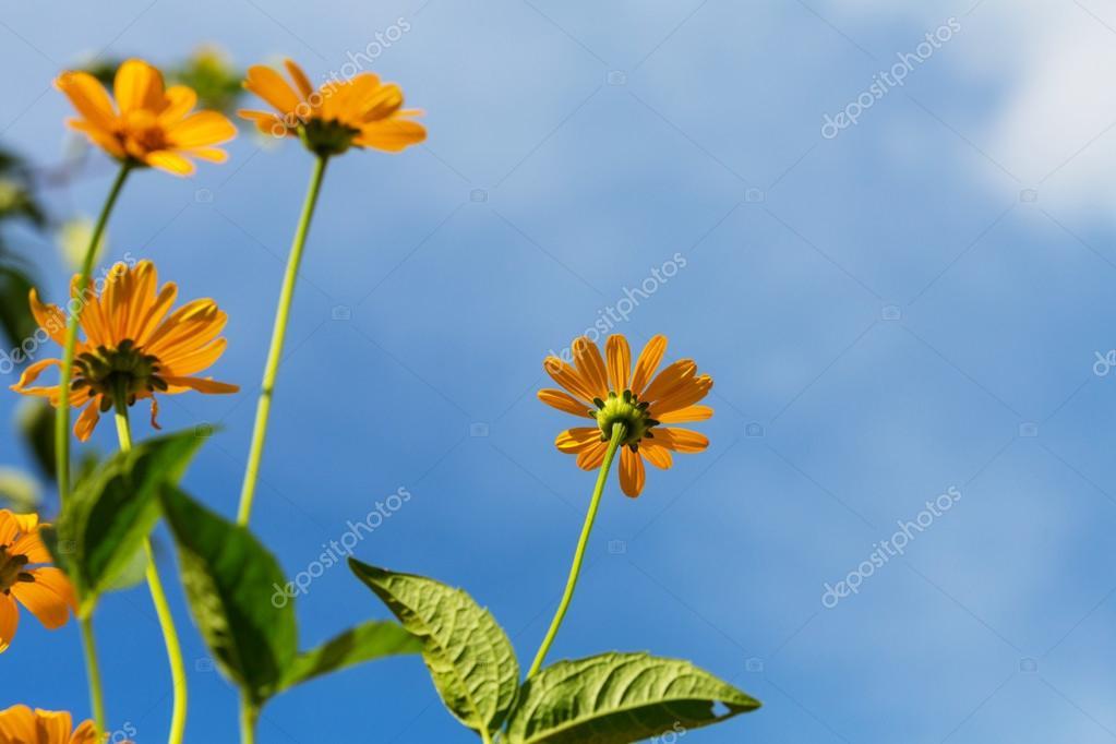 Flores Amarillas Silvestres Fotos De Stock C Kamchatka 115606892