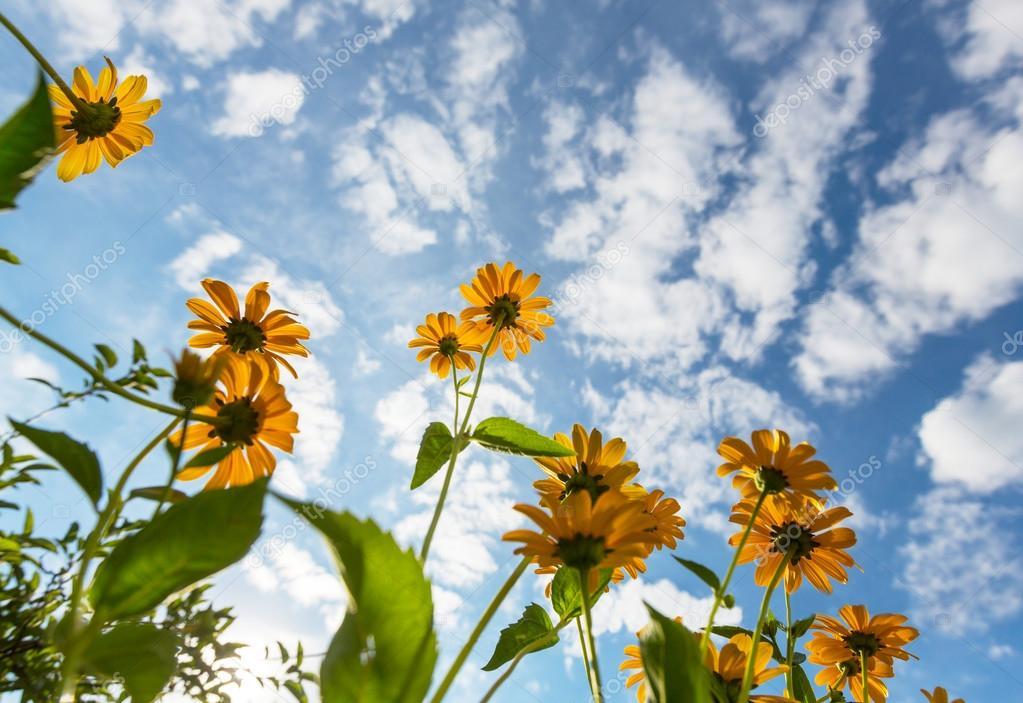 Flores Amarillas Silvestres Fotos De Stock C Kamchatka 115607024