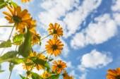 sárga vadvirág