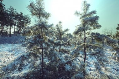 Scenic forest in winter