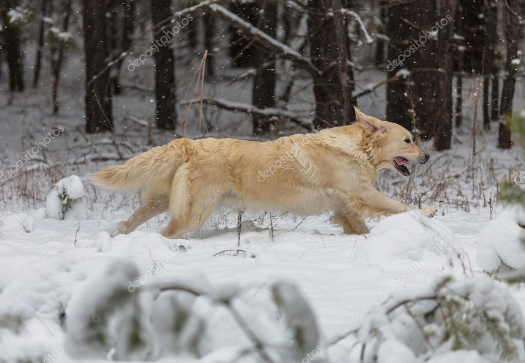 Retriever in  forest