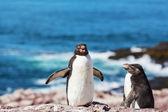 pingvinek Argentínában