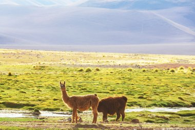 Two Llamas in Argentina