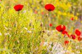divoký mák Květiny