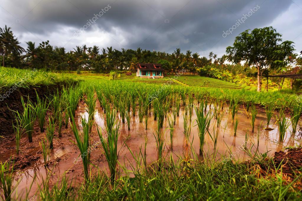 Green field in Indonesia