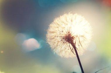 blossom Dandelion flower