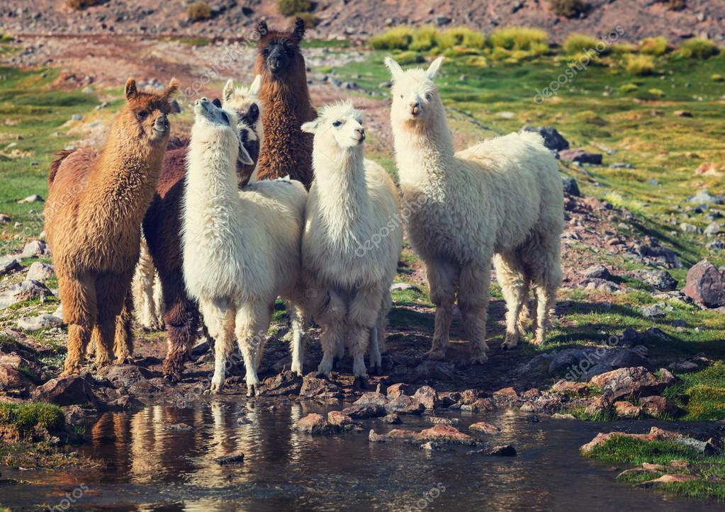 Llamas group in Argentina