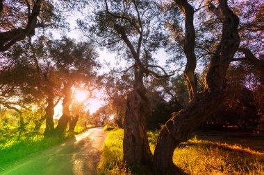 summer Olives garden