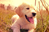 Cute golden retrieve.