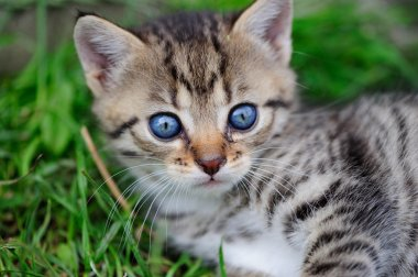 Lovely kitty with blue eyes in the child hands