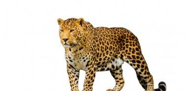 leopard on the white background