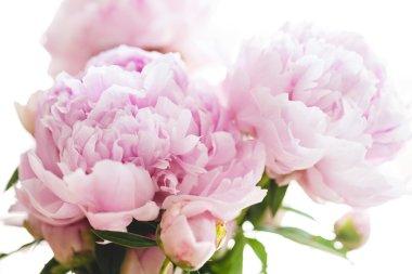 Beautiful pink peony flowers, on white background