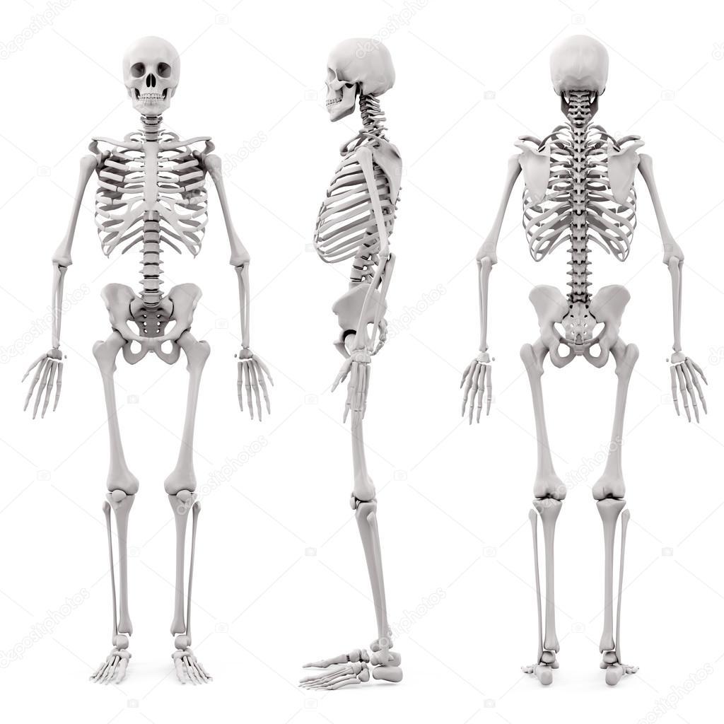 esqueleto humano 3D sobre fondo blanco — Foto de stock ...
