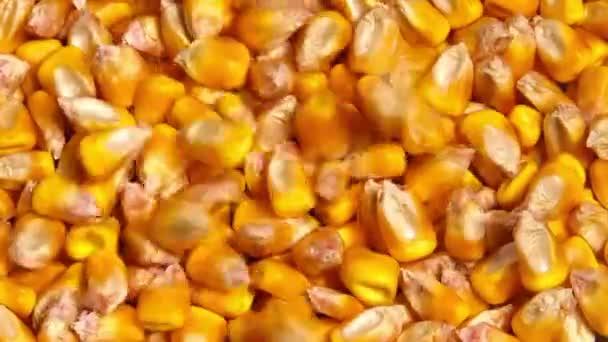 Sklizně kukuřice, úspěšné zemědělské praxe koncept