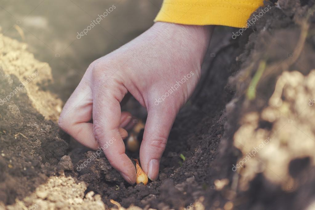 Woman seeding onions in organic vegetable garden