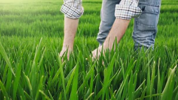 Zemědělec v zelených pšeničné pole zkoumání plodiny růst