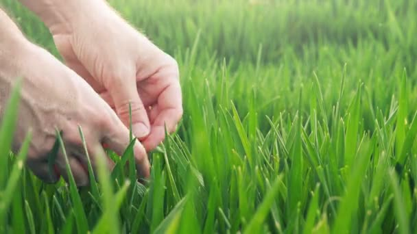 Farmers hands in green wheat field examining crops growth
