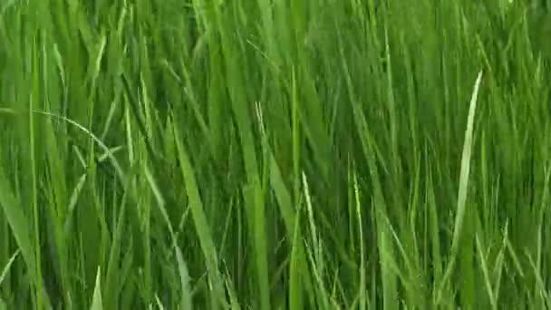 Green lawn grass blades