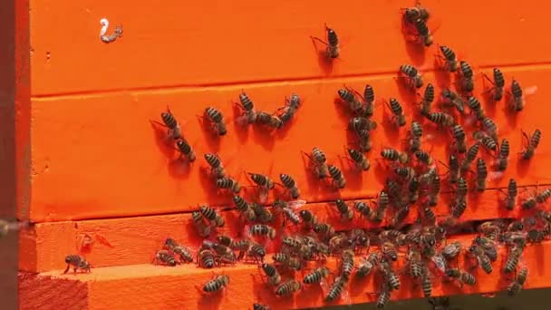 Swarm of busy honey bees entering beehive