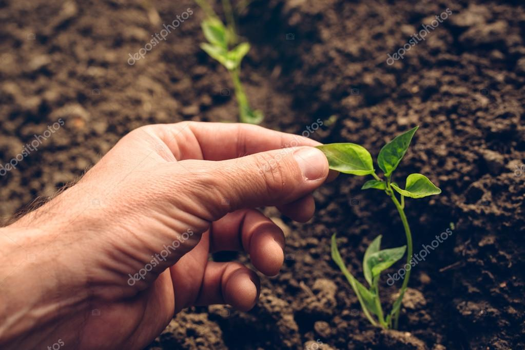 Farmer controlling growth of pepper plants in vegetable garden