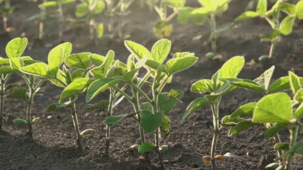 Slider shot of young soybean plants growing in cultivated field